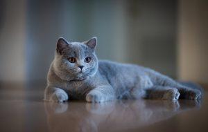 نژاد های گربه مناسب آپارتمان