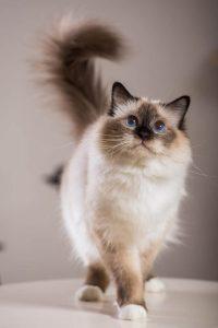 بهترین نژادهای گربه