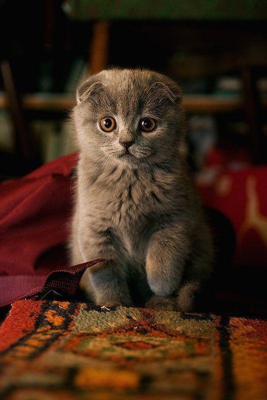 بهترین نژادهای گربه گربه اسکاتیش فولد