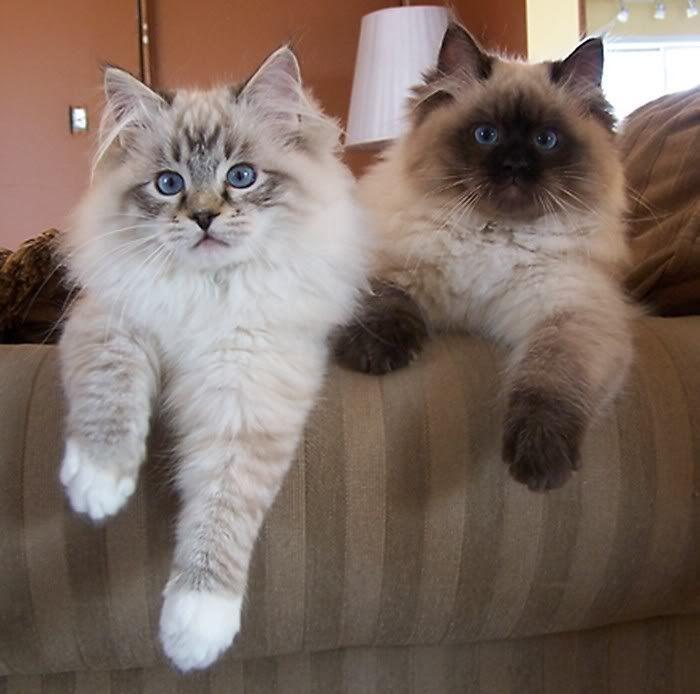 بهترین نژادهای گربه  گربه رگدال