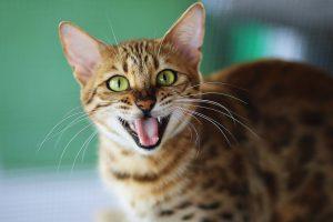 بهترین نژادهای گربه بنگال