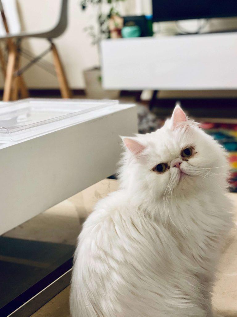 گربه پرشین بهترین نژادهای گربه
