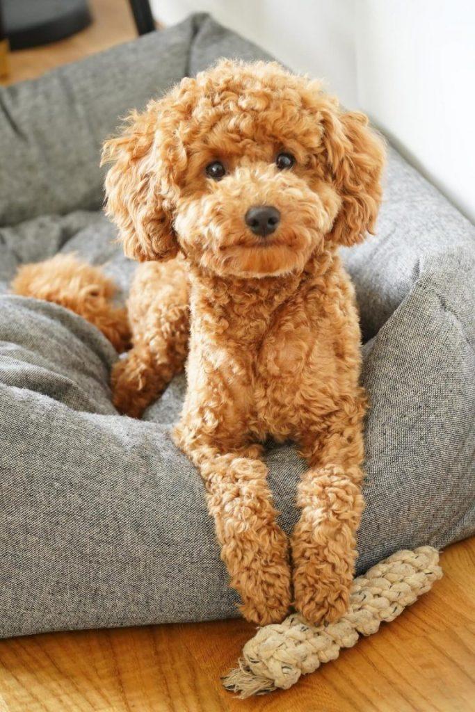 نژاد های سگ مناسب آپارتمان _ پودل
