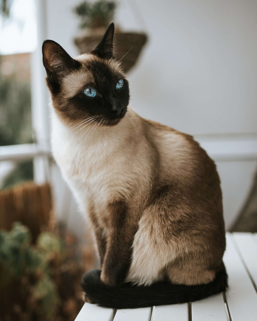 گربه سیامی بهترین نژادهای گربه