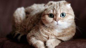 گربه Scottish Fold