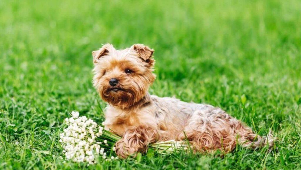 نژاد سگ یورکشایر | معرفی سگ های آپارتمانی