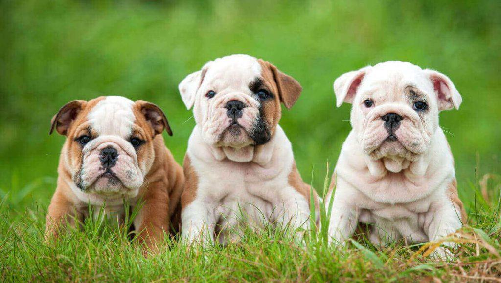 نژاد سگ بولداگ | معرفی سگ های آپارتمانی