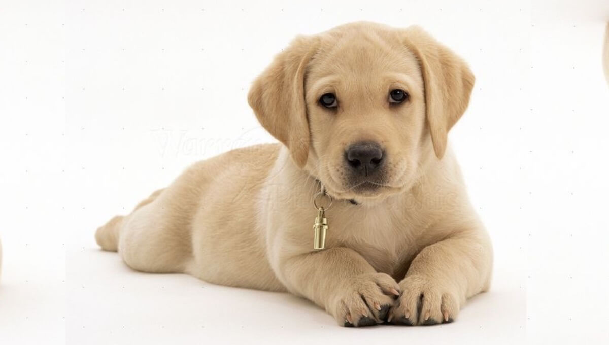 توله سگ نژاد لابرادور رتریور