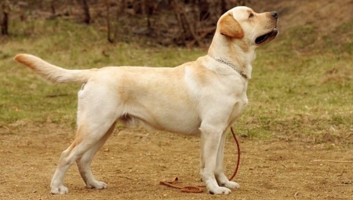نژاد سگ لابرادور رتریور