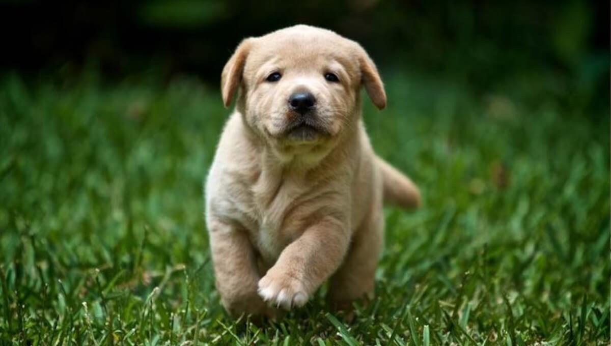 توله سگ لابرادور رتریور انگلیسی سفید
