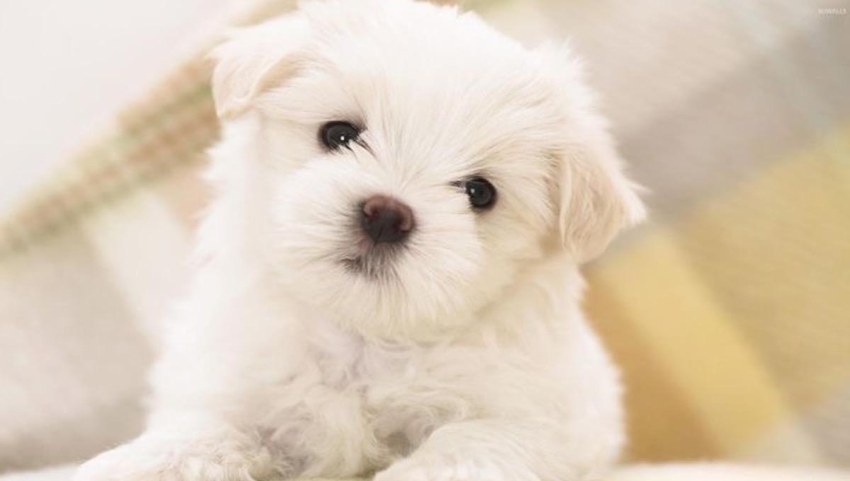 نژاد سگ مالتیز | معرفی سگ های آپارتمانی