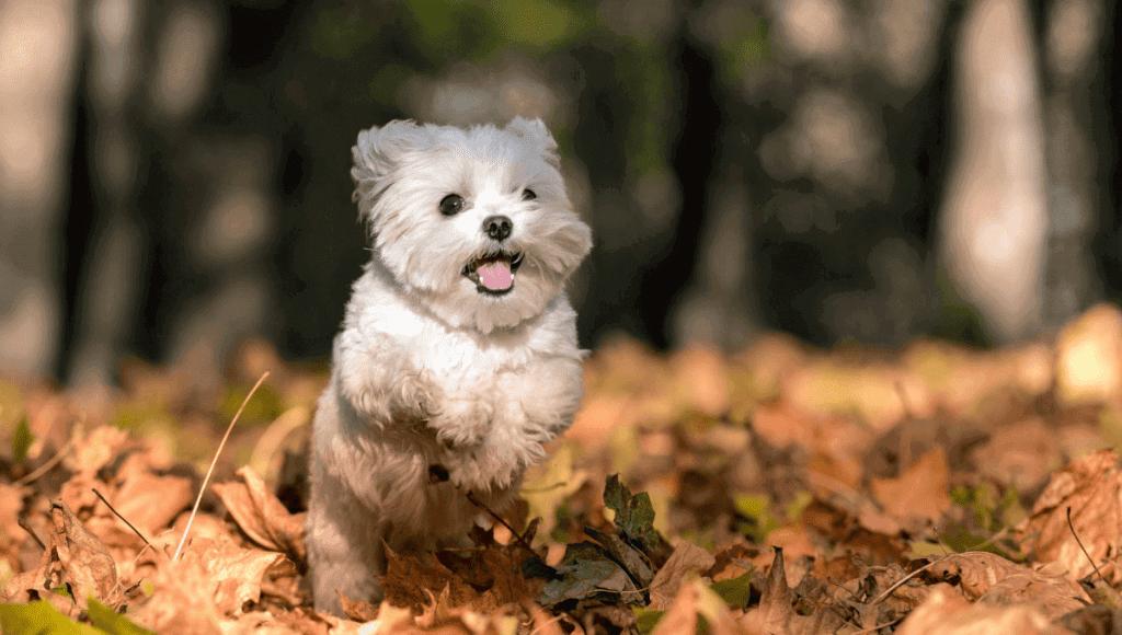 نژاد سگ مالتیز   معرفی سگ های آپارتمانی