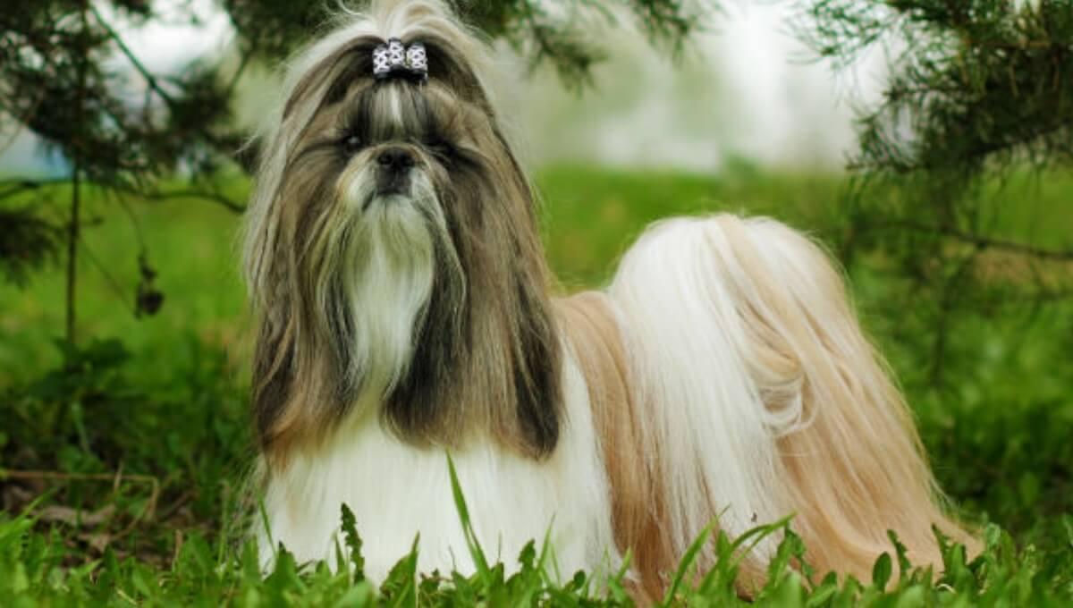 نژاد سگ شیتزو آمریکایی