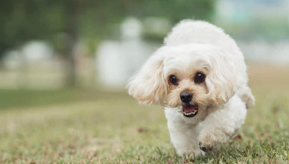 توله سگ شیتزو