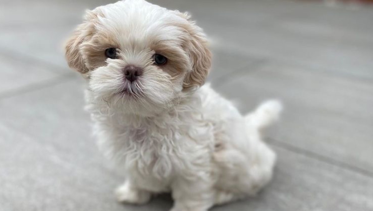نژاد سگ شتزو کوچک