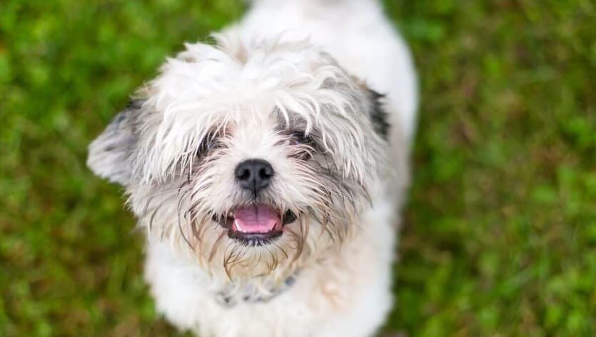 توله سگ شیتزو سفید